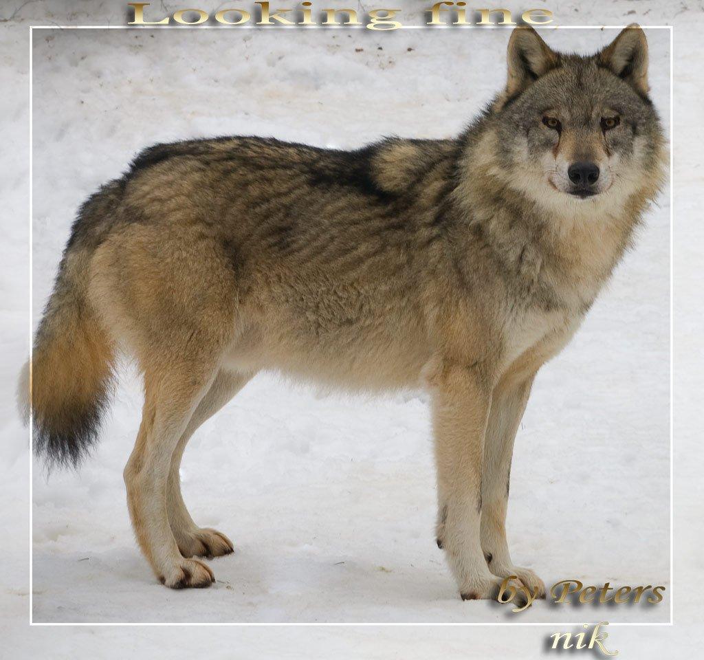 wolf-140