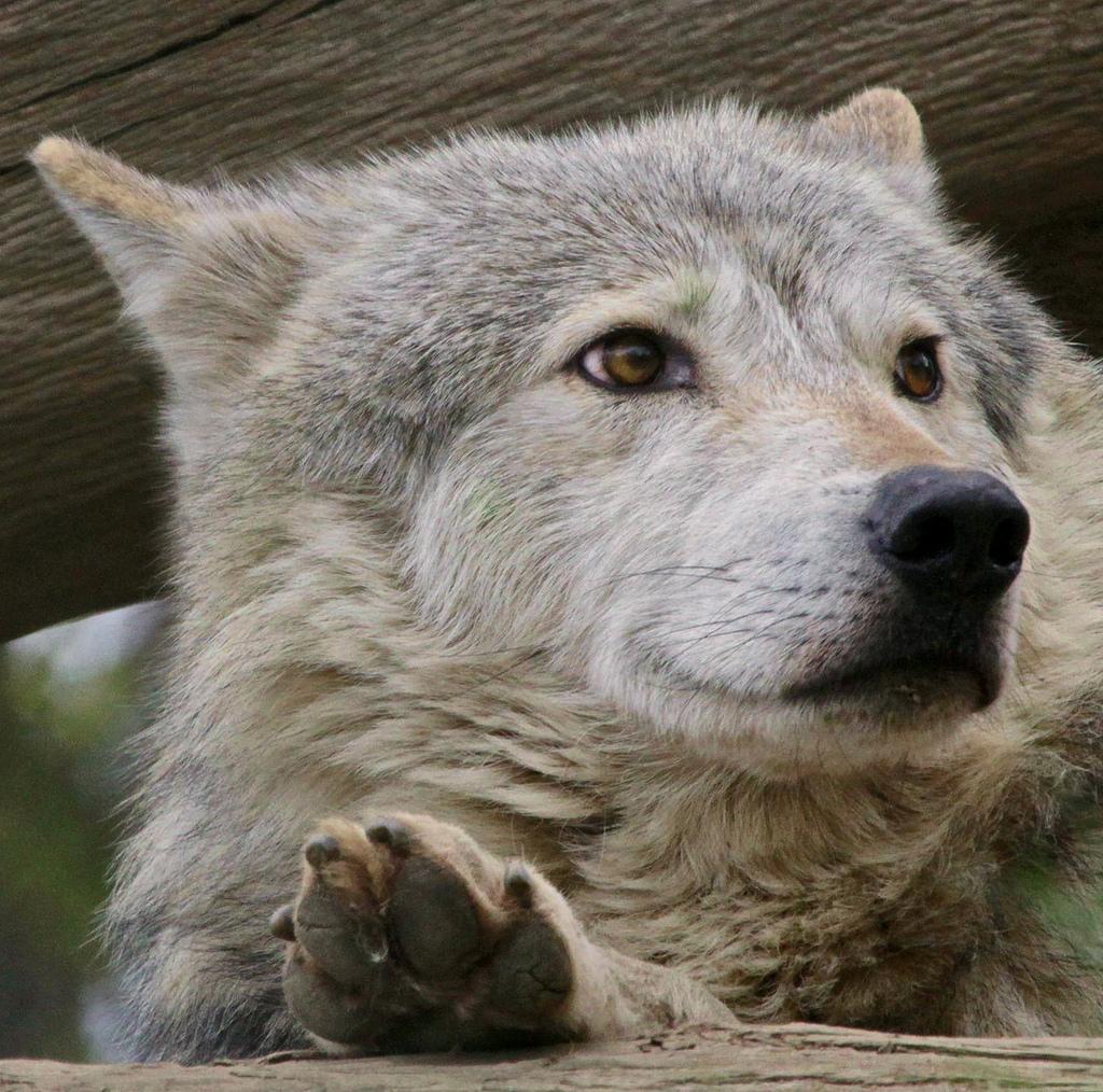 wolf-147