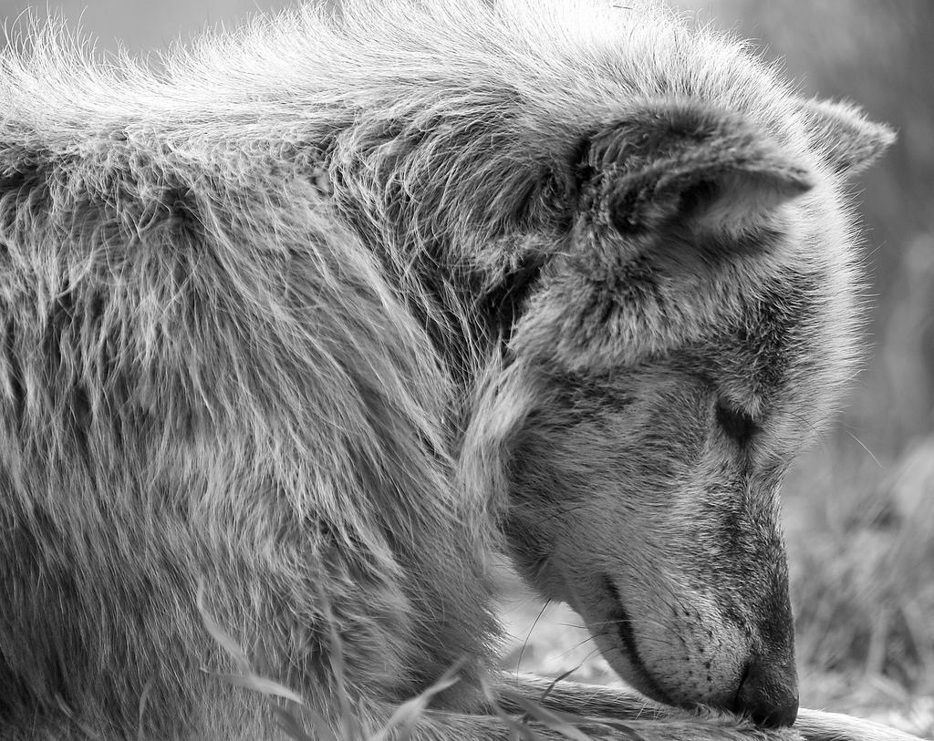 wolf-148