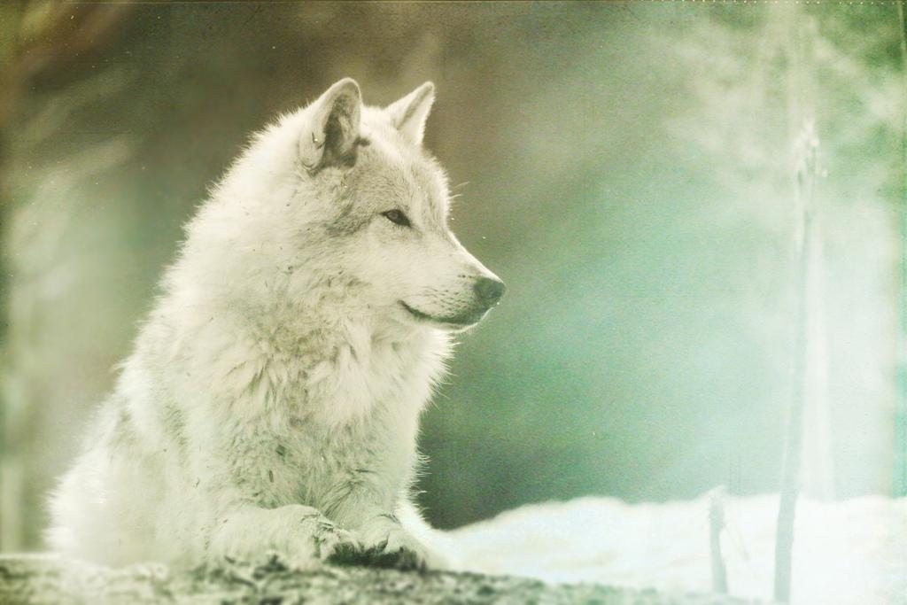 wolf-149