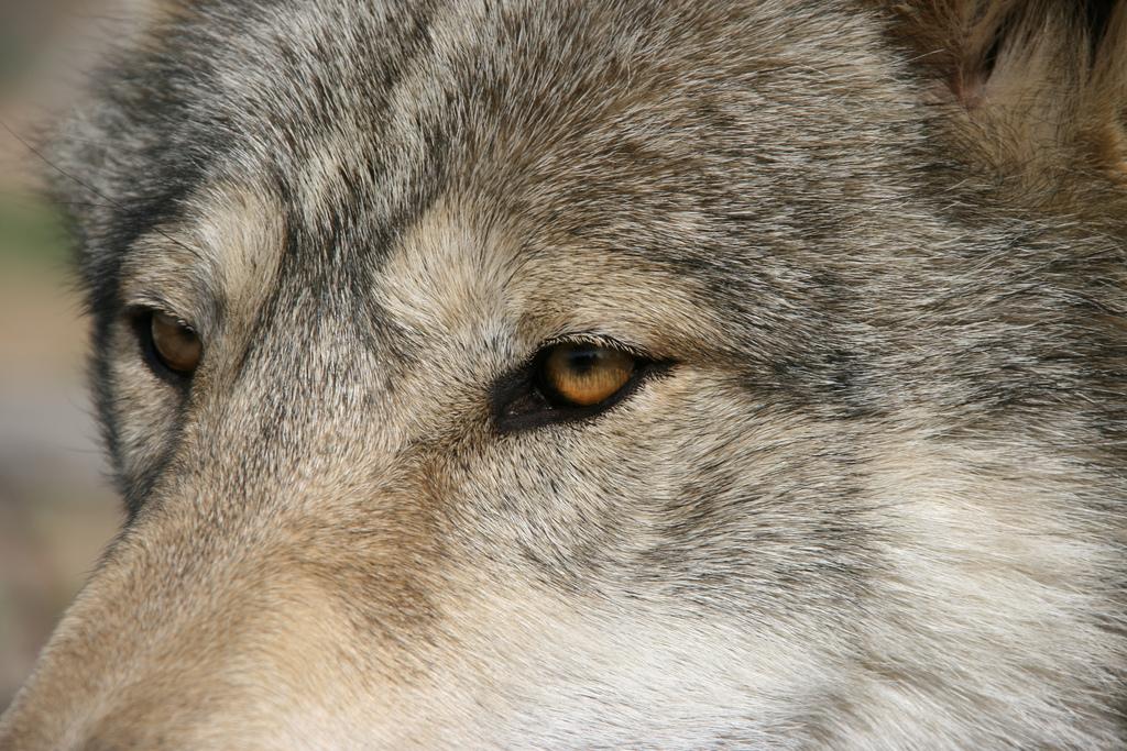 wolf-15