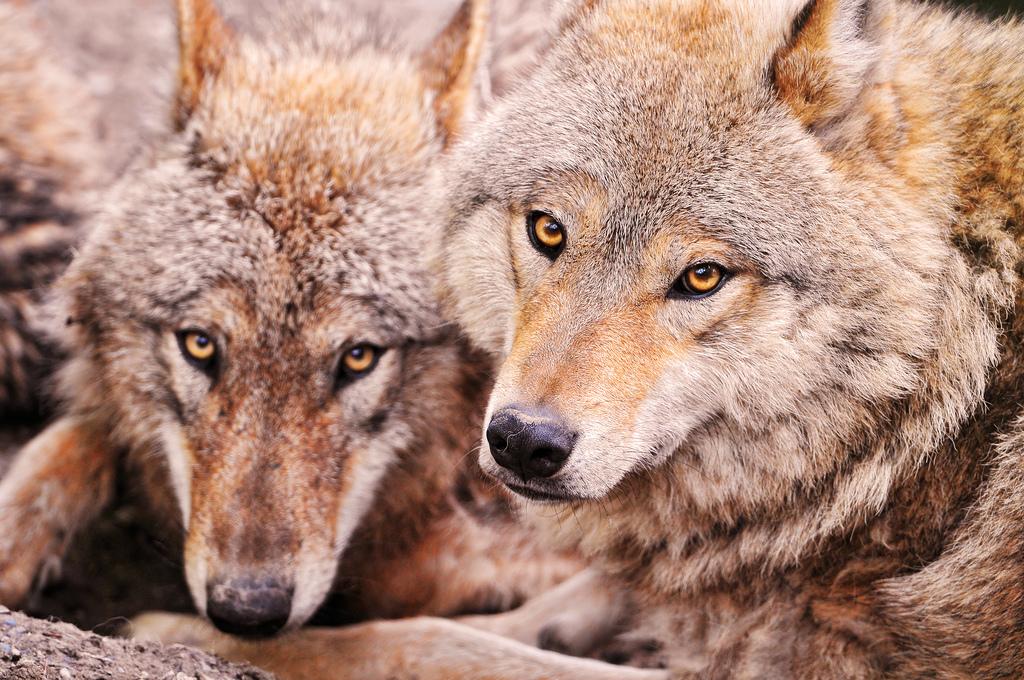 wolf-152