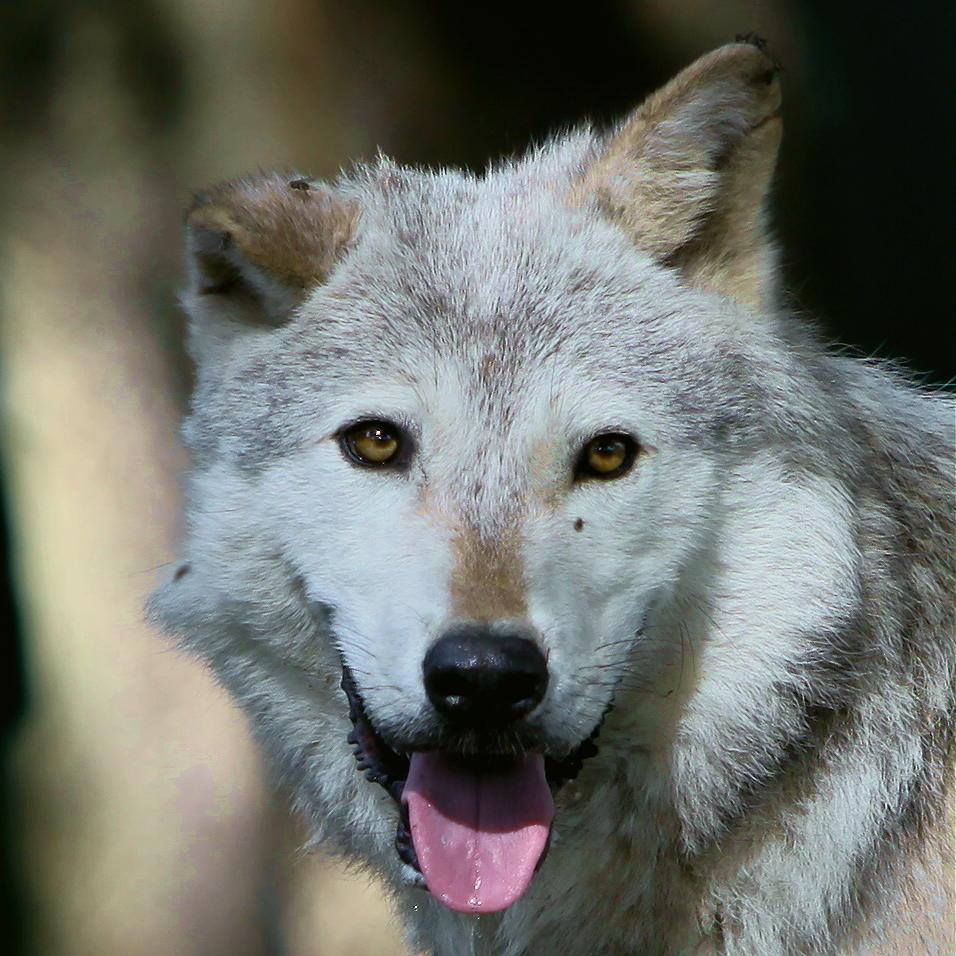 wolf-153