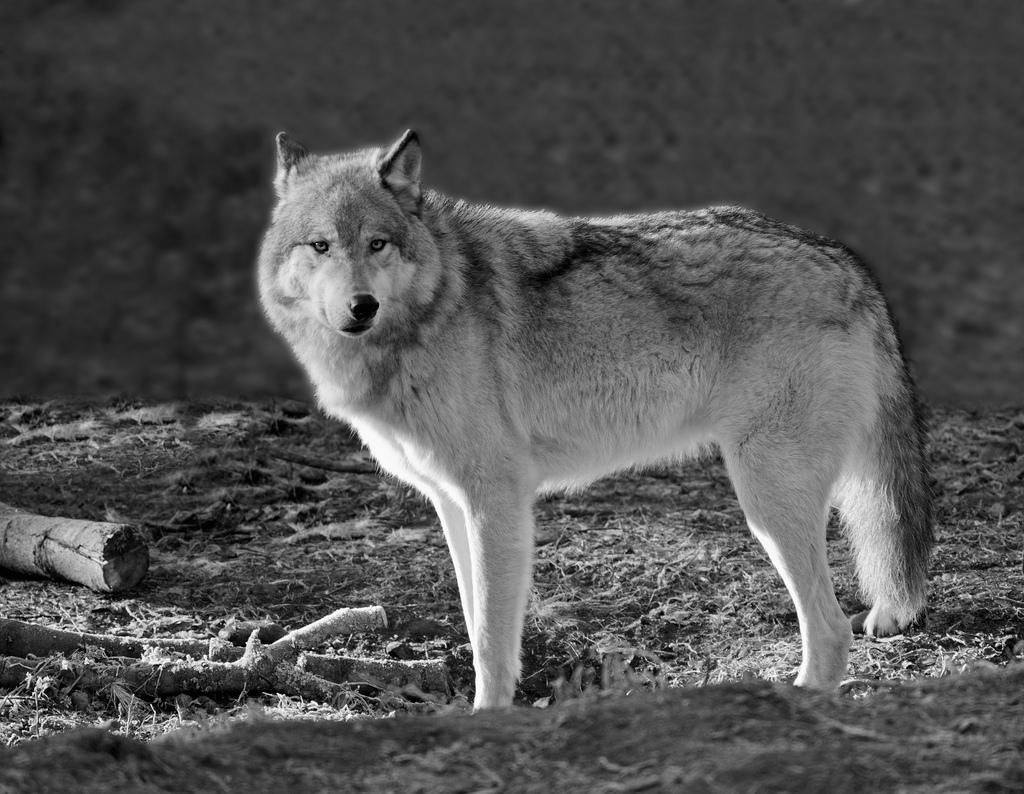 wolf-155
