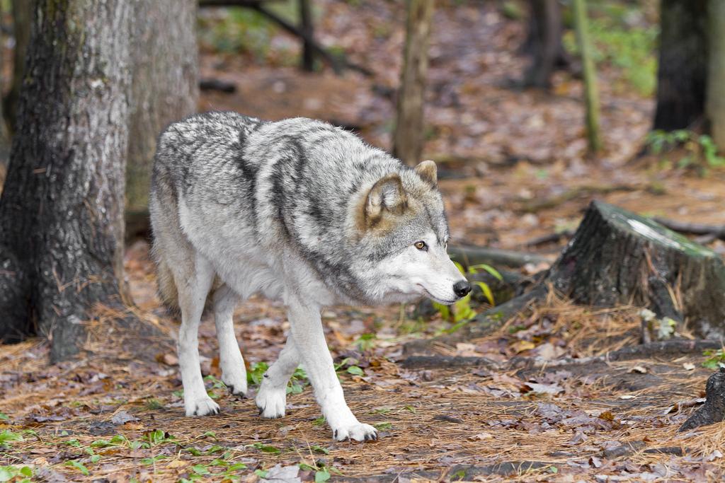 wolf-156