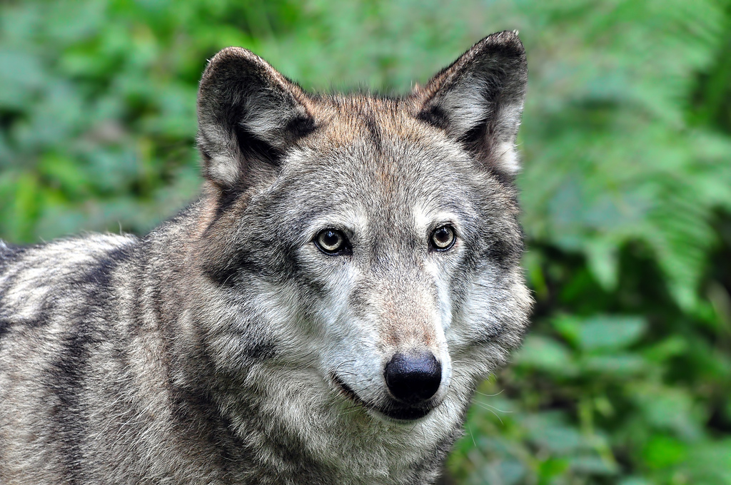 wolf-157