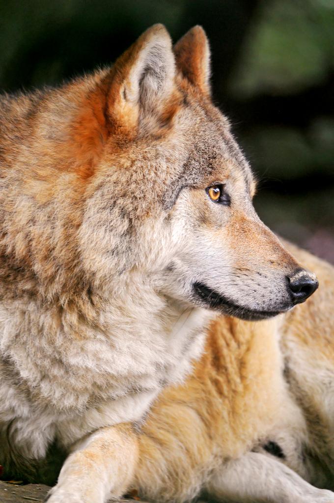 wolf-159