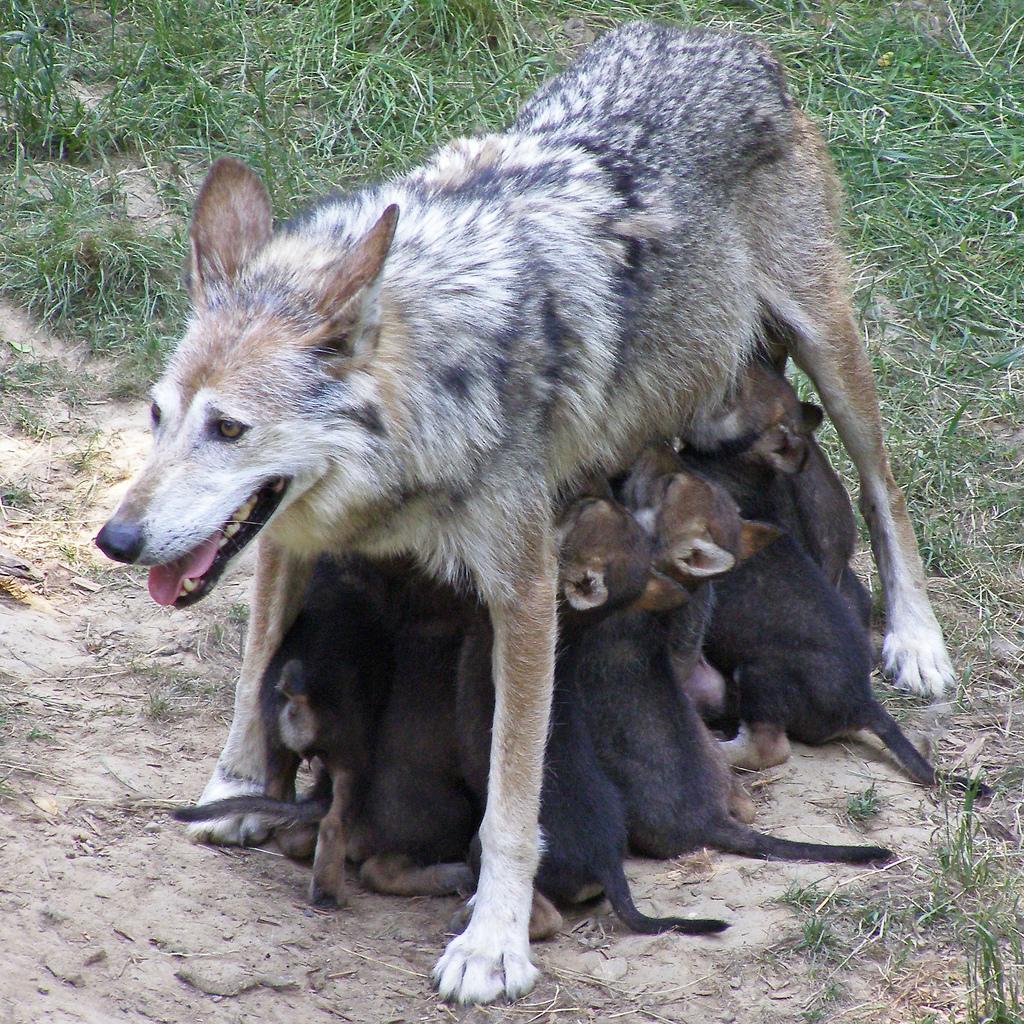 wolf-16