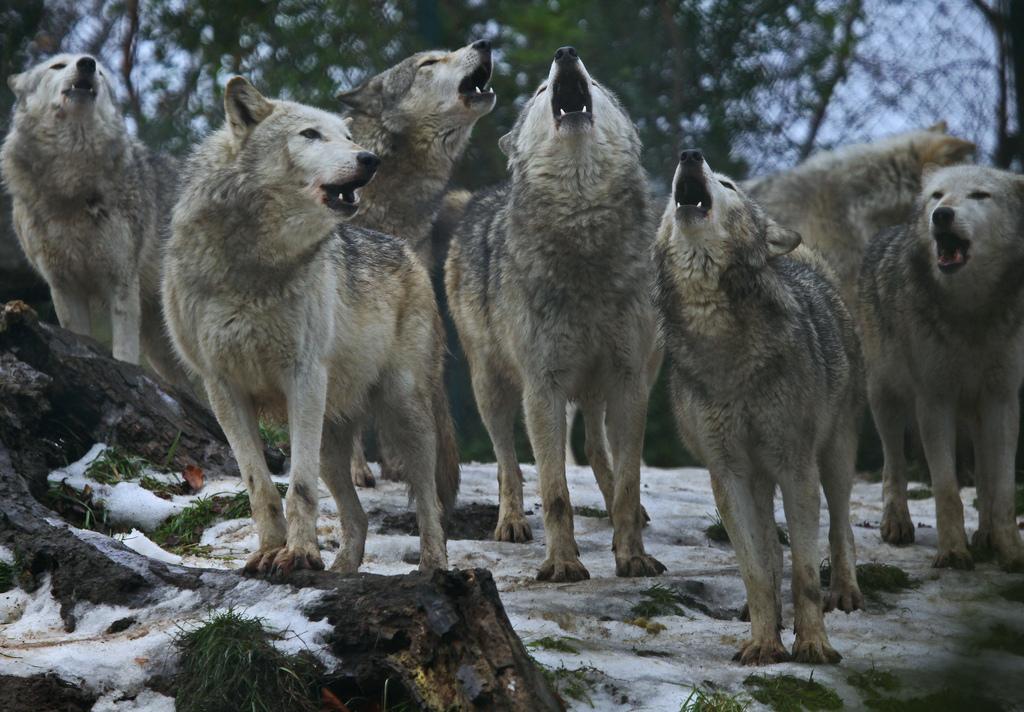 wolf-160