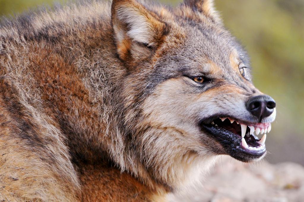 wolf-161
