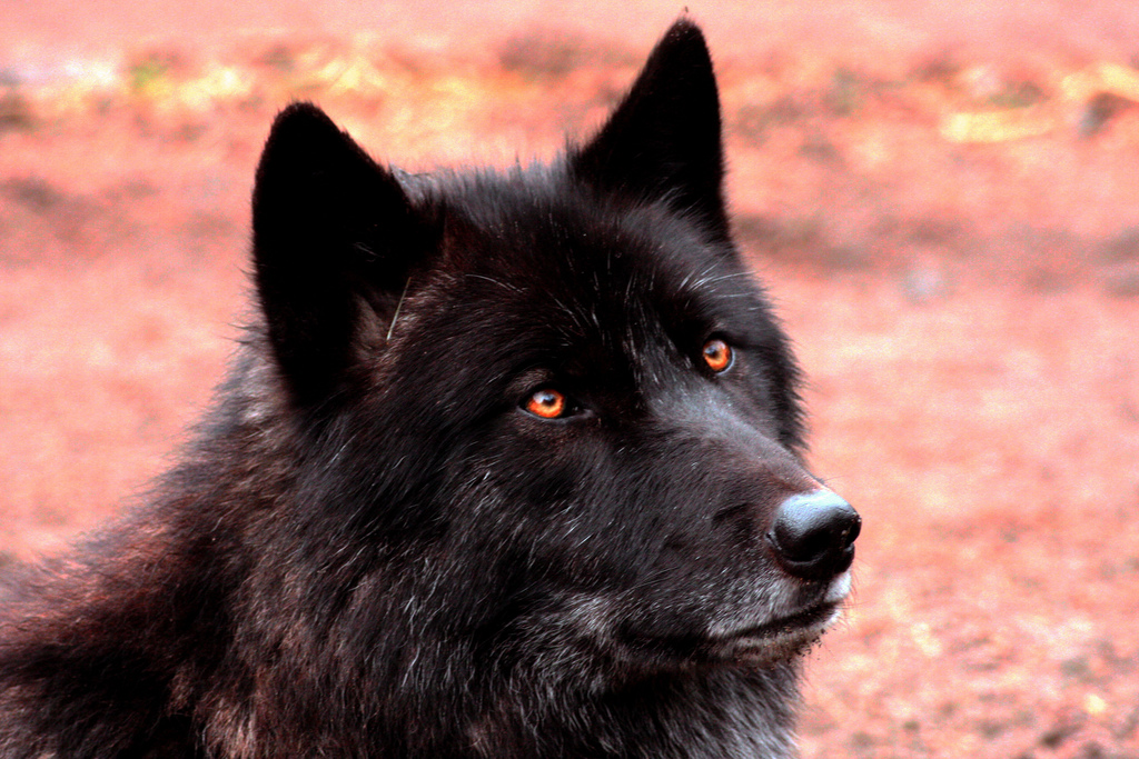 wolf-162