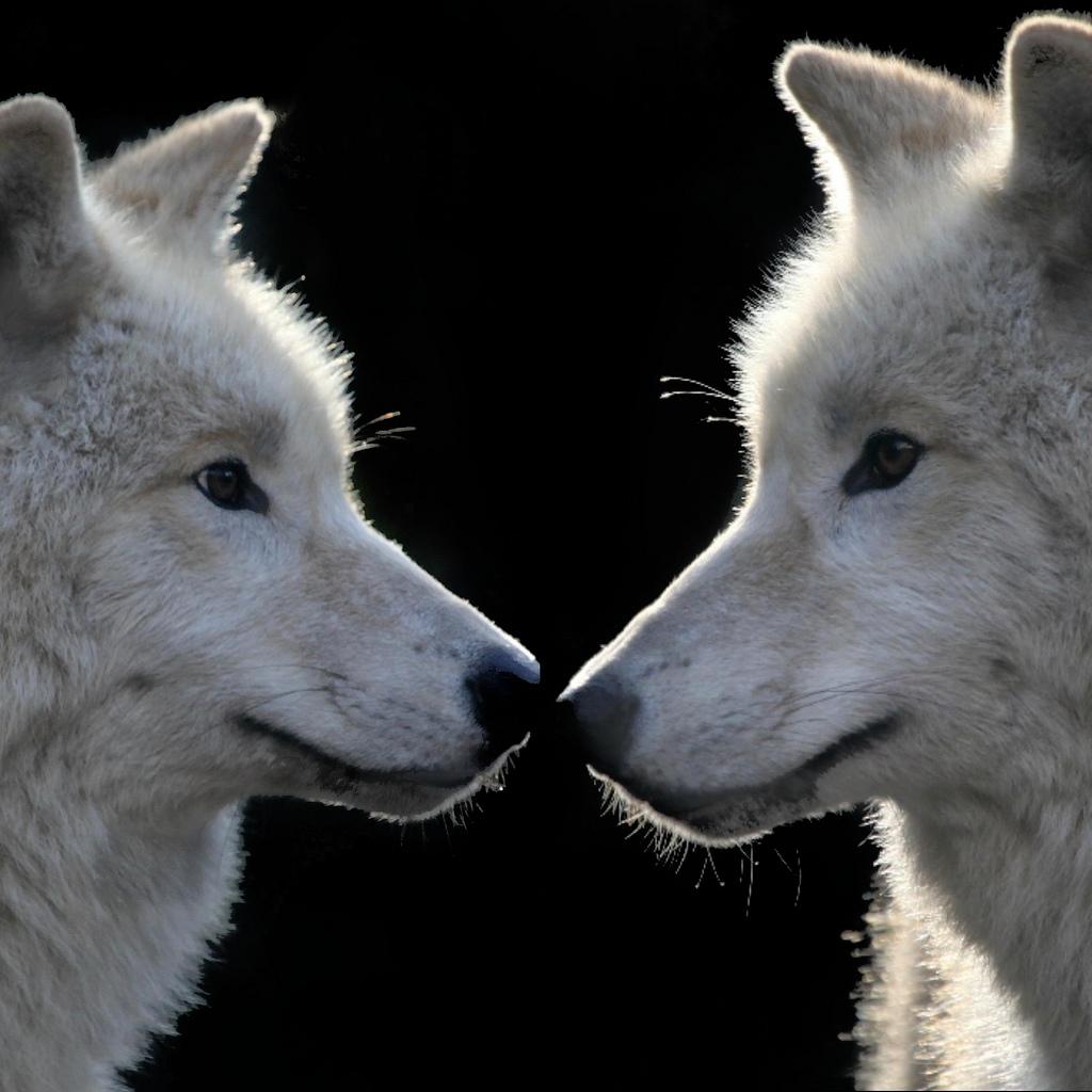 wolf-163
