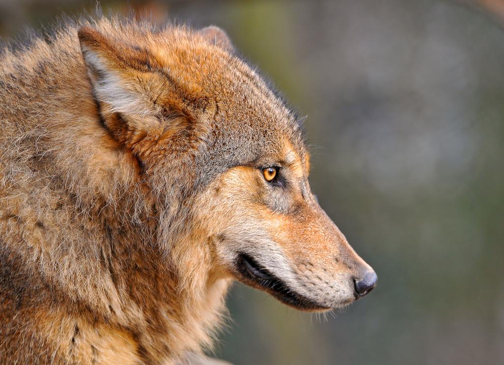 wolf-164