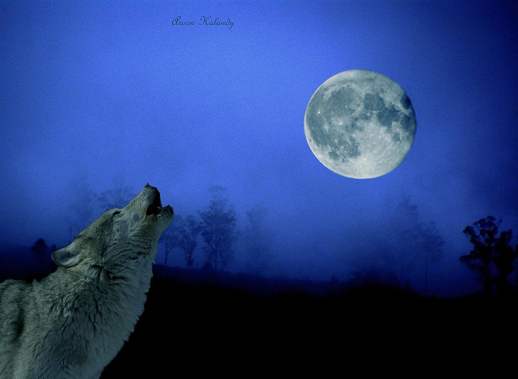 wolf-167