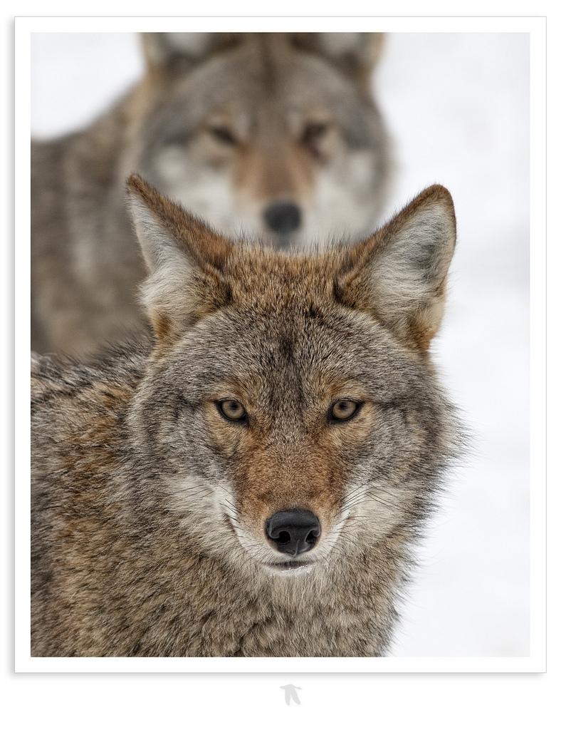 wolf-168