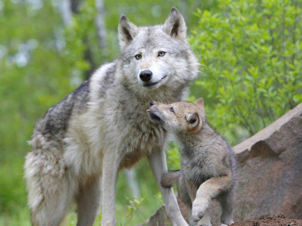 wolf-169