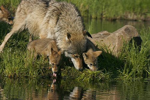 wolf-18