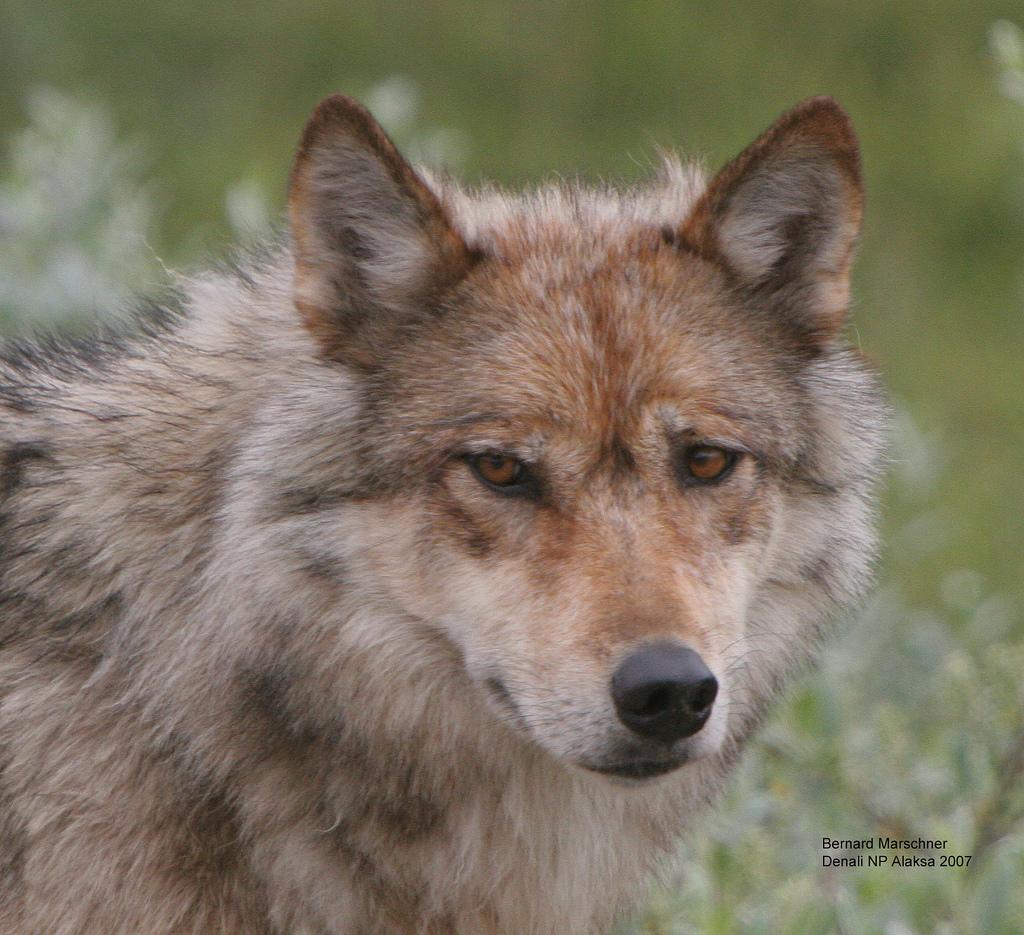 wolf-21