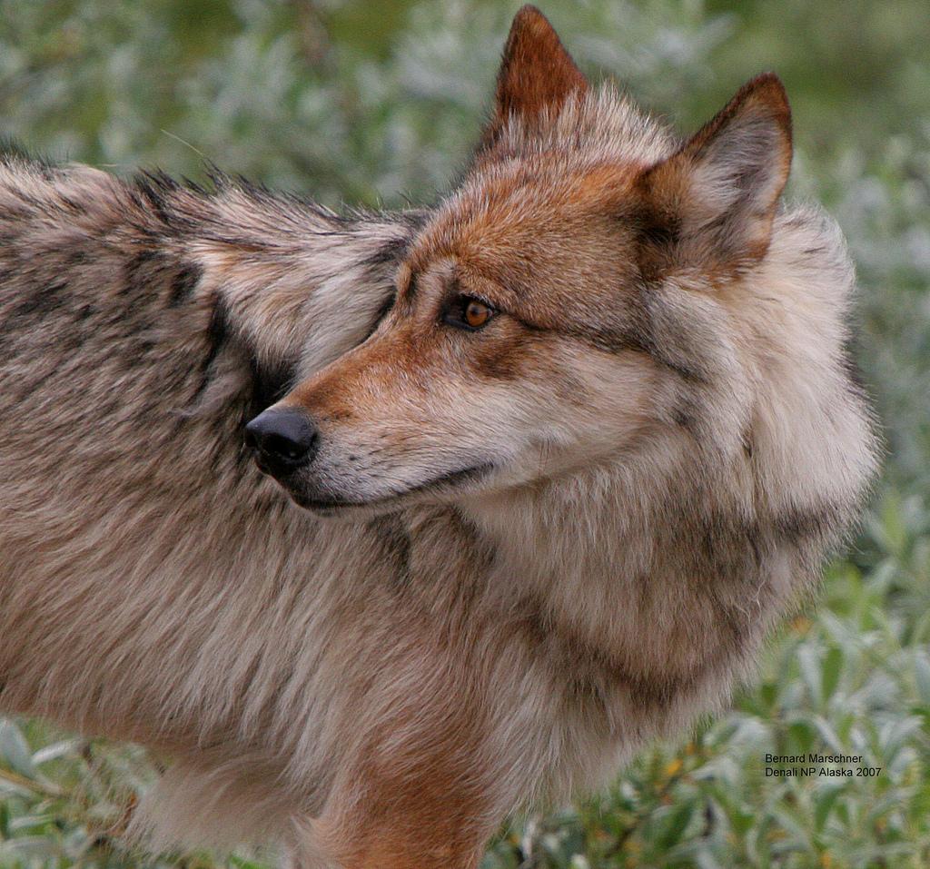 wolf-22