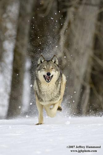 wolf-23
