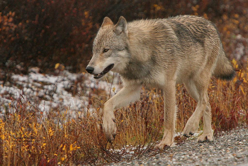 wolf-24