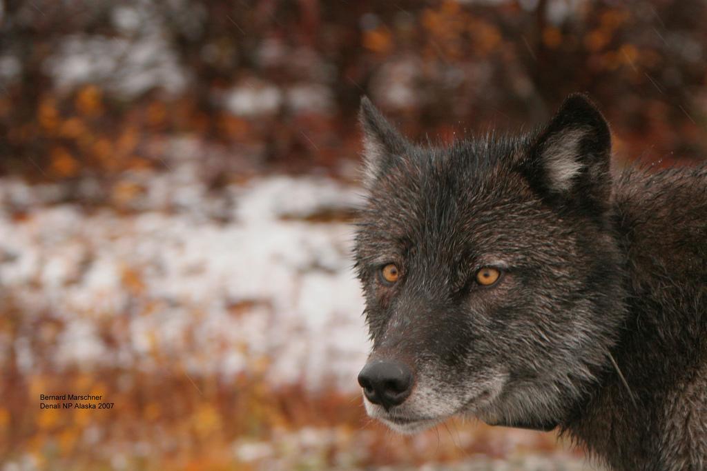 wolf-25