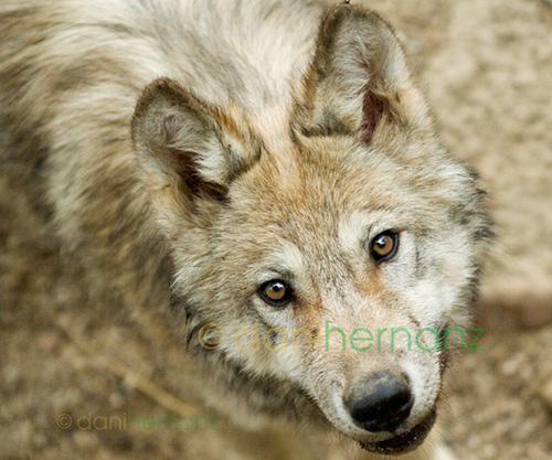 wolf-26