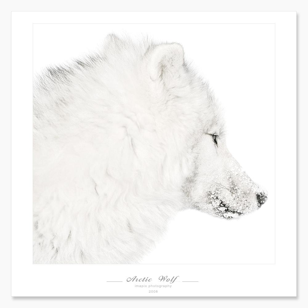 wolf-33