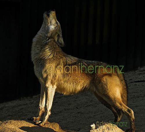 wolf-35