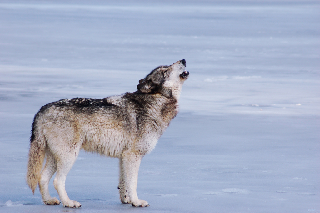 wolf-38