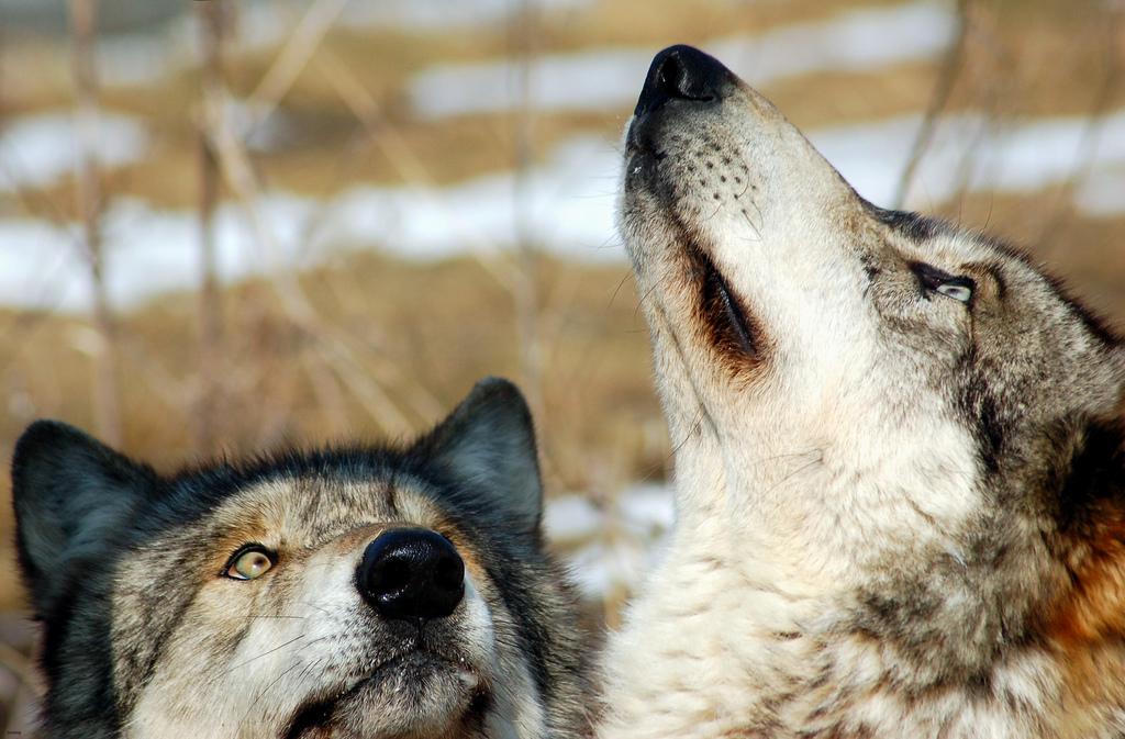 wolf-40