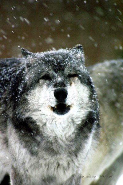 wolf-42