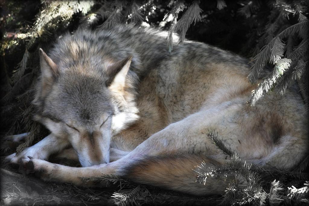wolf-43