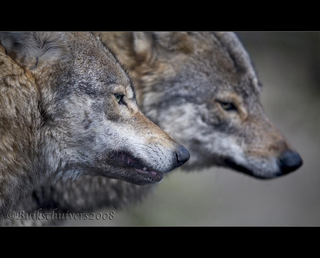 wolf-46