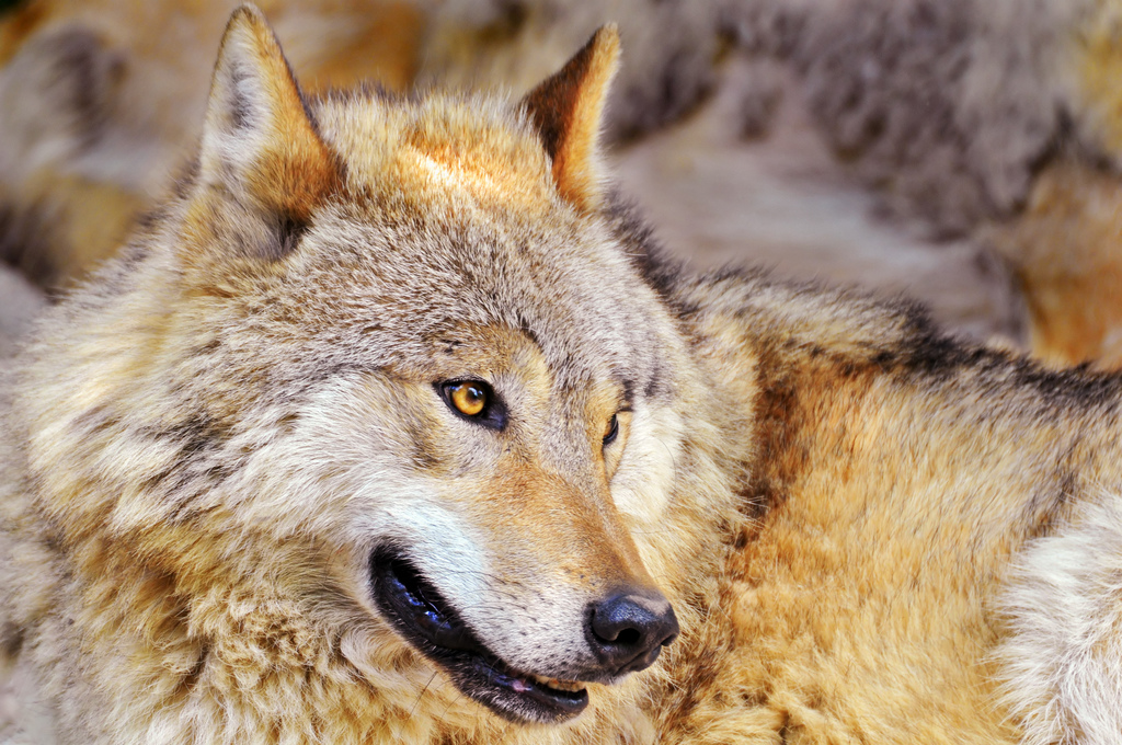 wolf-49