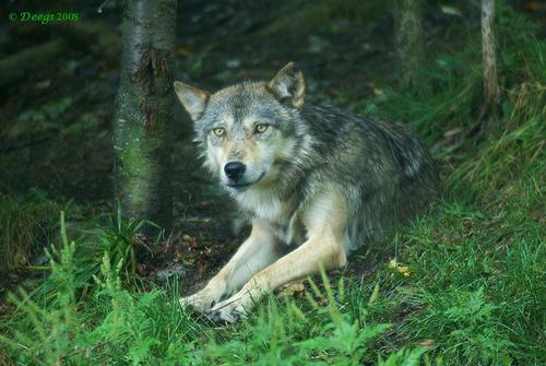 wolf-53