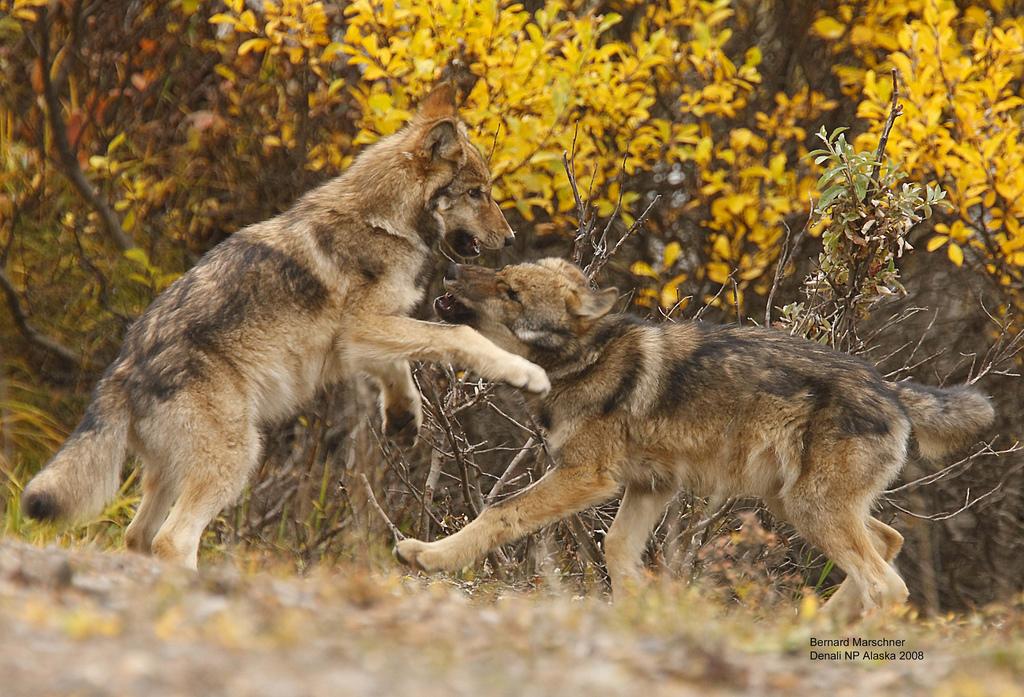 wolf-54
