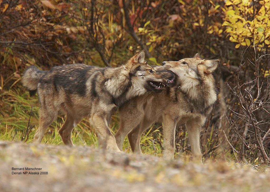 wolf-55