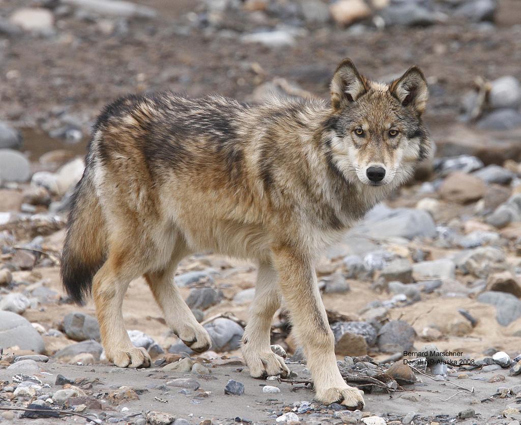wolf-56