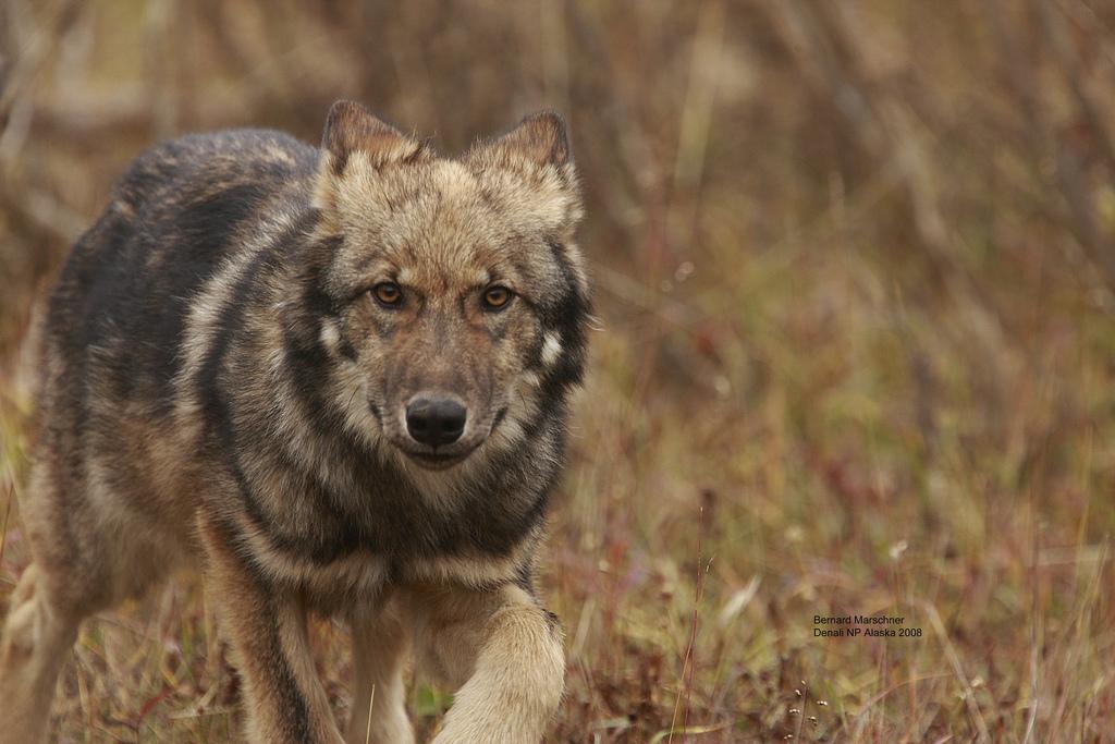 wolf-57