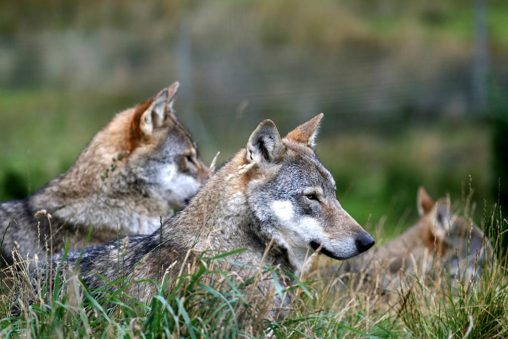 wolf-64