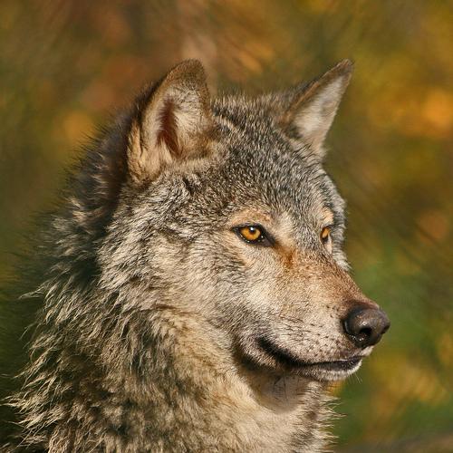 wolf-65