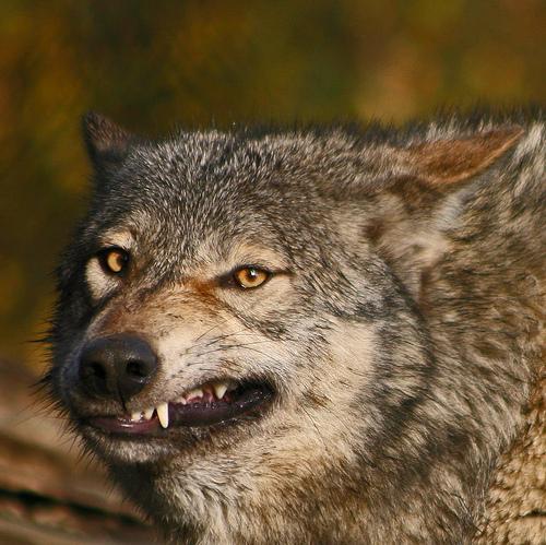 wolf-66