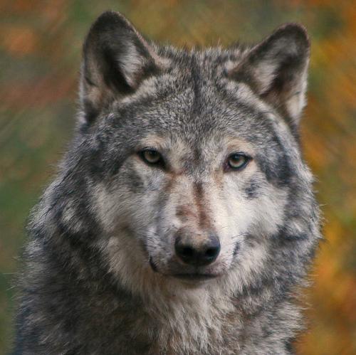 wolf-68