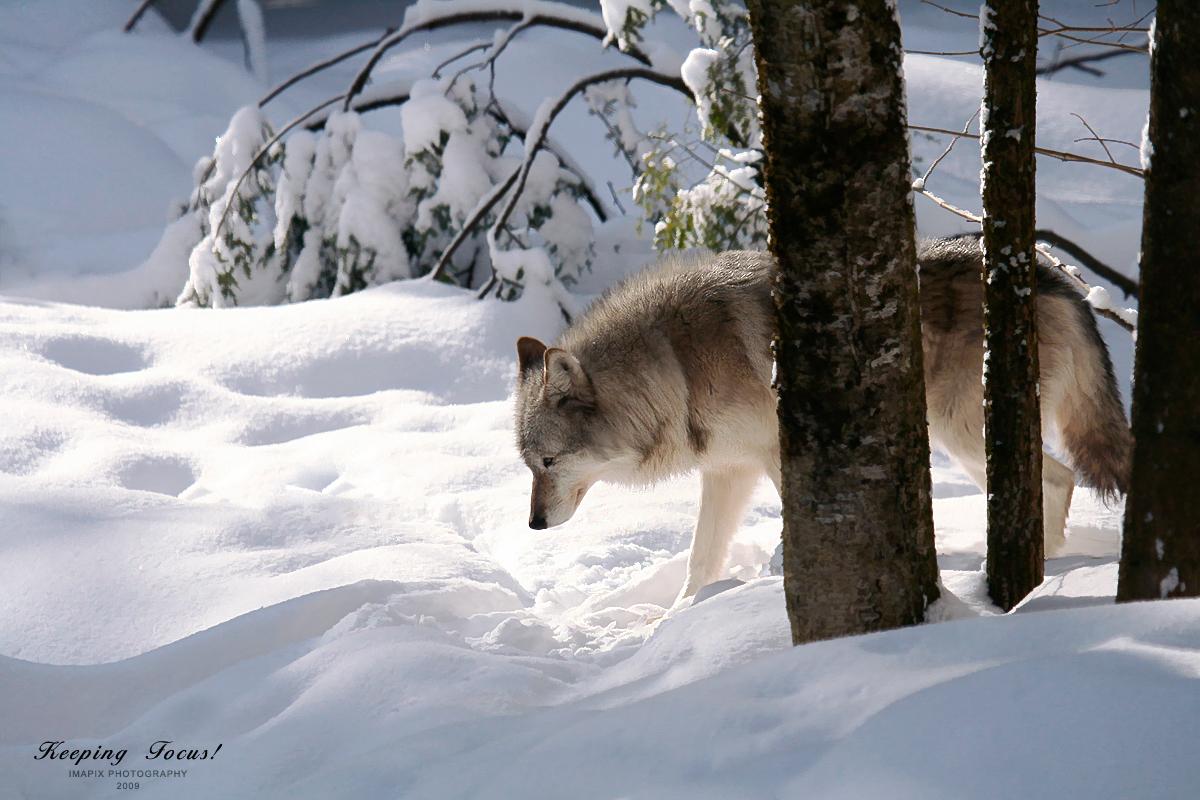 wolf-71