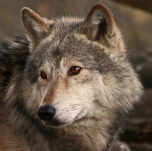 wolf-73