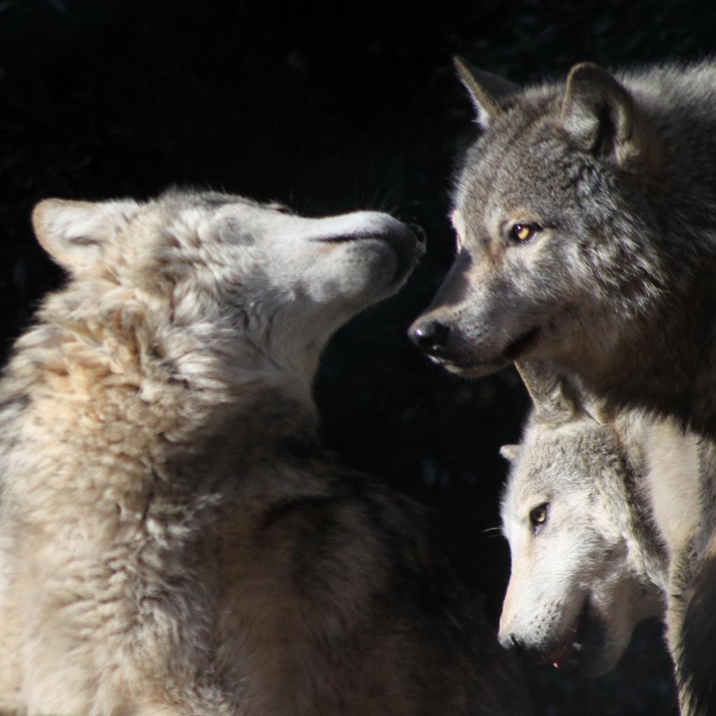 wolf-77