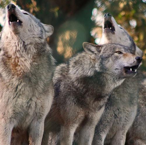 wolf-78