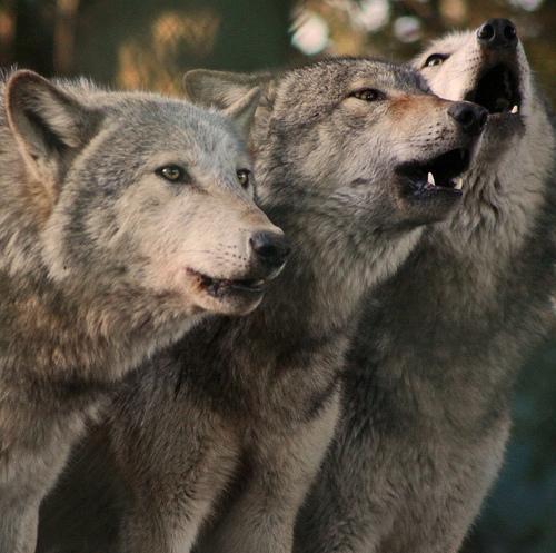 wolf-79