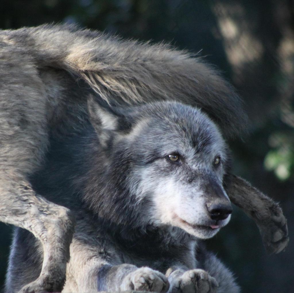 wolf-81